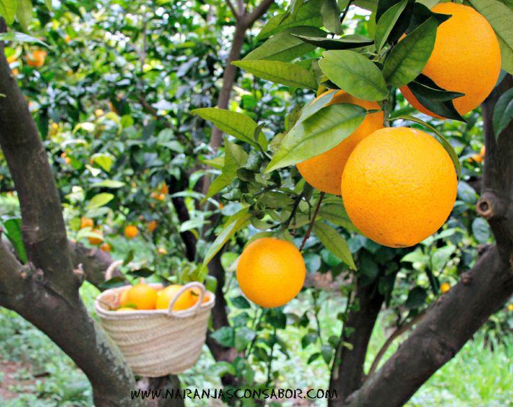 Naranjas ecológicas de la variedad Navelina. Temporada de recolección: noviembre - enero
