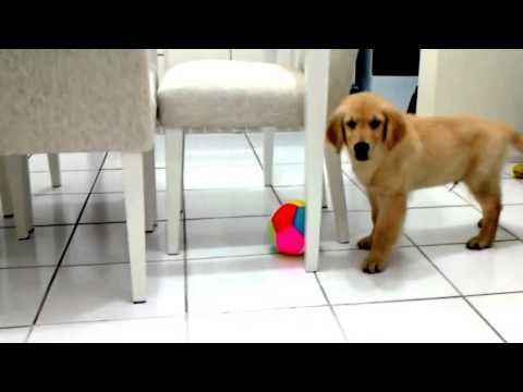 golden retriever training - clicker training 9 week old golden retriever puppy