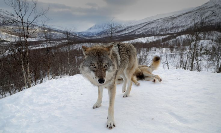Norway plans to cull more than two-thirds of its wolf population