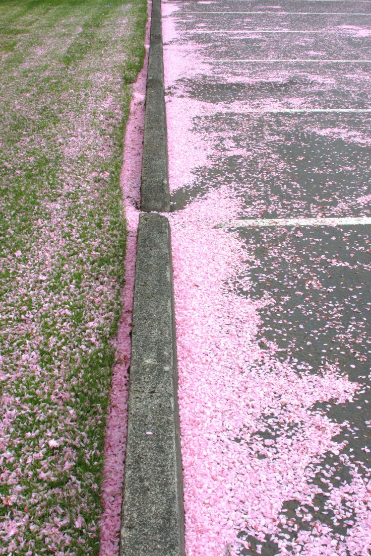 """""""Pink snow.""""  Another shot of the blossom petals from ornamental cherry or plum trees in the Vancouver, WA/Portland/OR area.  It's really fun to drive in it when it's falling across the road.  It really looks like pink snow. 04/2012."""