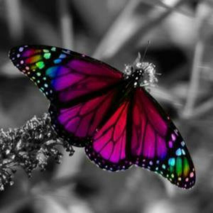Love the colorful butterfly against the black n white background. It really pops!