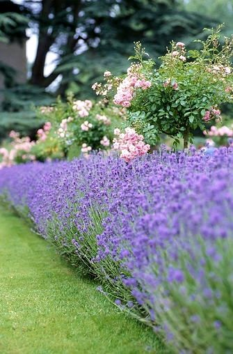 Lavender edging and tea rose bushes make for a beautiful—and fragrant!—summer garden!