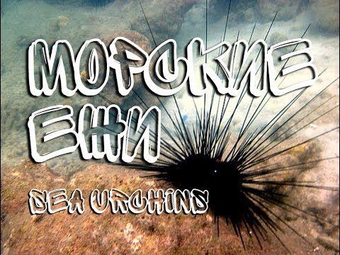 Морские ежи — Sea urchins