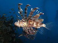 Peixe-leão comum ( Milhas do Pterois)
