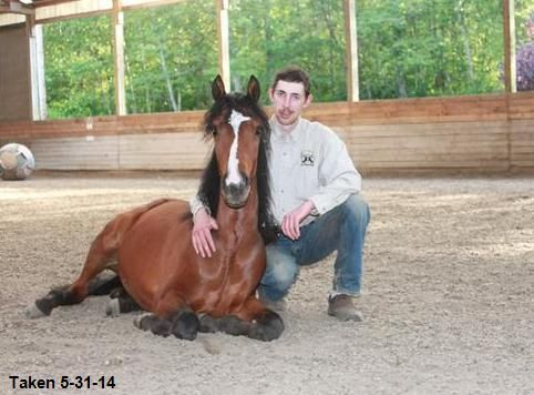Morgan Gelding For Sale in Washington, taught to lay down!