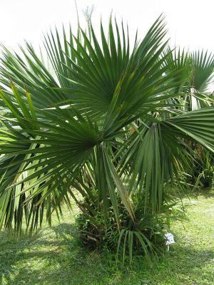 17 meilleures id es propos de palmier nain sur pinterest for Palmier nain exterieur