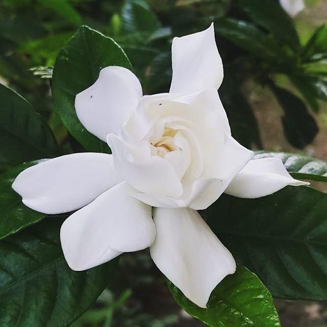 New The 10 Best Garden Ideas Today With Pictures この花を見るとあの歌を思い出す昭和生まれ クチナシ くちなし くちなしの花 はなのあるくらし 私の庭 ガーデニング日和 ガーデニング好きな人と繋がり Garden Ideas ガーデニン