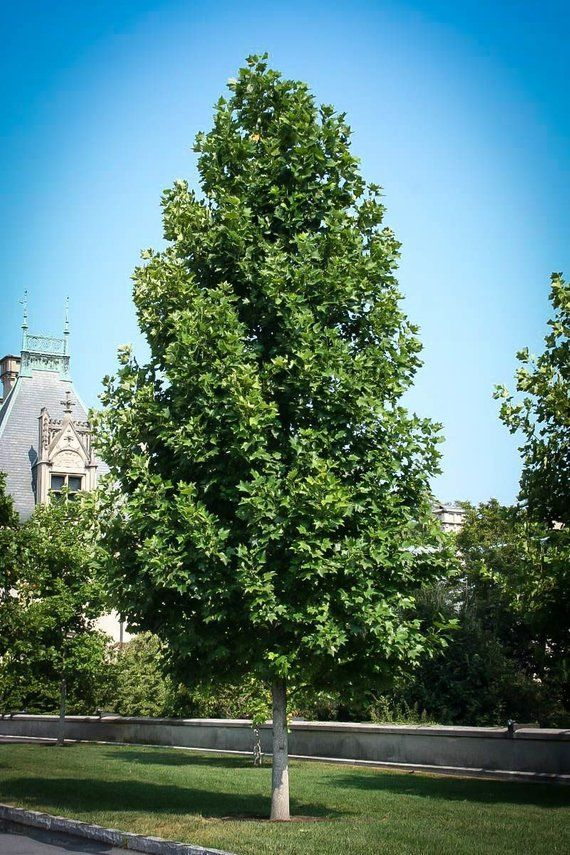 Tulip Poplar Tree 1 Gallon Potted Plant Healthy Plant Strong