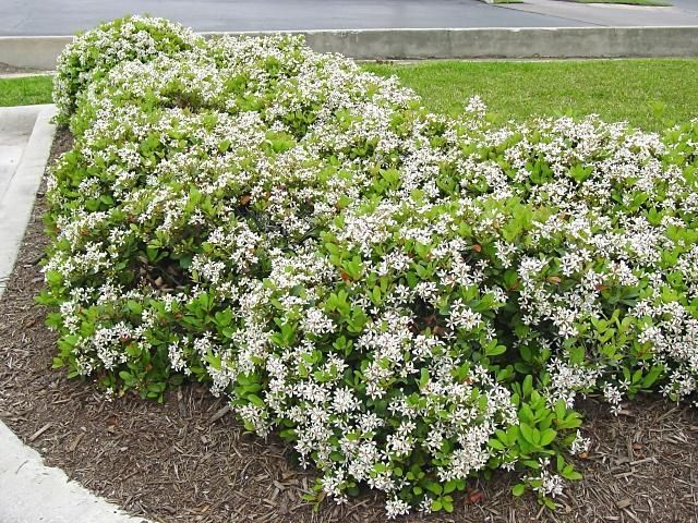 Full size picture of Indian Hawthorn, White Indian Hawthorn 'Clara' (Rhaphiolepis indica)