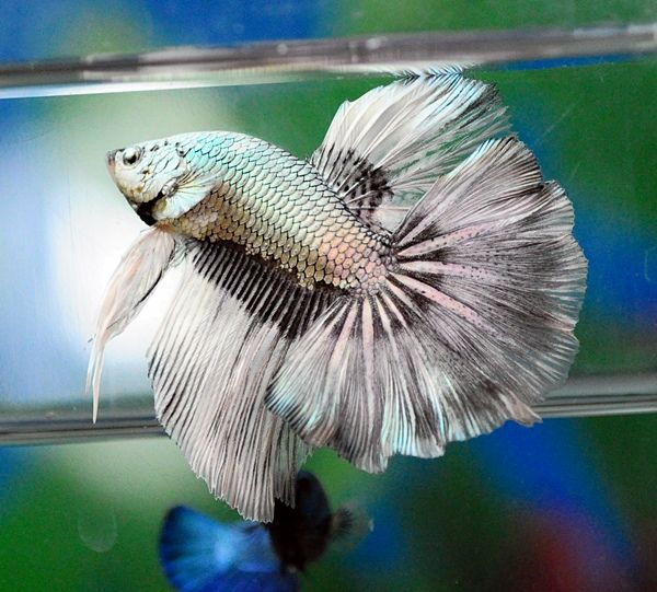 17 best images about badass fish keeping humour on for Betta fish friends