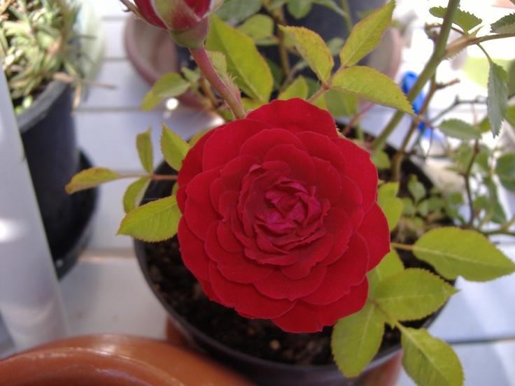 Bocciolo di rosa selvatica