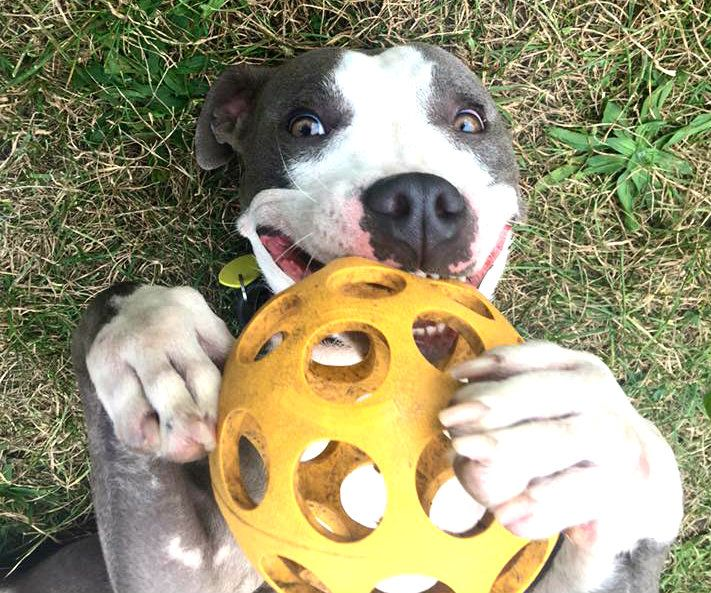 Pin by CLEVELAND PITTIES on ADOPTIONSCLEVELAND KENNEL
