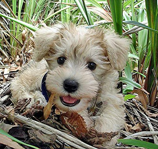 The temperament and personality-traits of the Schnoodle reflect its Schnauzer and Poodle heritage. Schnauzers are naturally affectionate, protective, intelligent and strong-willed whilst the Poodle is clever, active, and excels in obedience training. want one someday. :) this color with a schnauzer face. sooooo cute