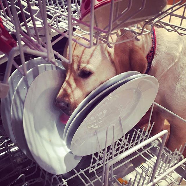 Time to clean the dishes  Photo credits by @angus_theyellowlab Instagram   More lovable labradors check: https://www.instagram.com/labradortime   #whitelabrador #labrador #labradors #dog #dogs