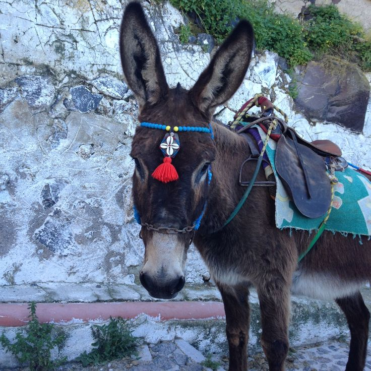 In ancient #Greece, #donkeys and mules served important roles - carrying loads and pulling carts that were too heavy or transporting goods over treacherous terrain.  Today, however, they are more of a tourist trap, used as taxis to and from mountain-side ports like the #Santorini Old Port and would-be patrons are cautioned:  many critics of this system argue that the animals are treated very cruelly.