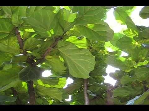 Caring For Ficus Lyrata; Fiddle Leaf Fig