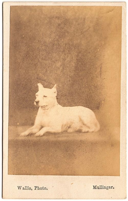 EXTINCT ENGLISH WHITE TERRIER~MULLINGAR, IRELAND~CIRCA 1890 colección C.H.