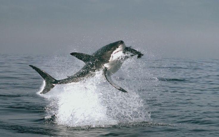 Great White Sharks Eating People   GreatWhiteSharkEatingSeal - Sharenator.com