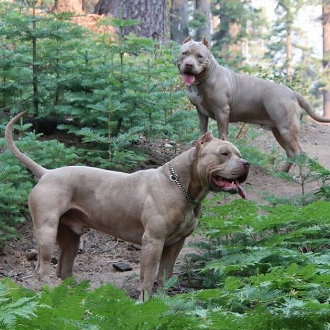 Pin By Leanna On Adorable Bully Breeds Dogs Bully Dog