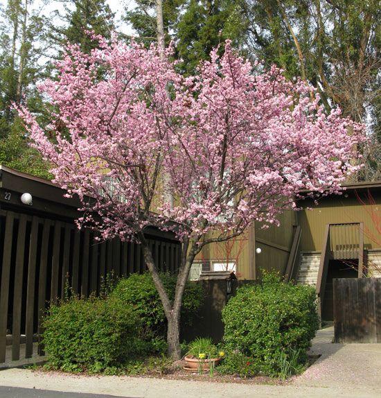 Prunus 215 Blireana Flowering Plum Tree With Images