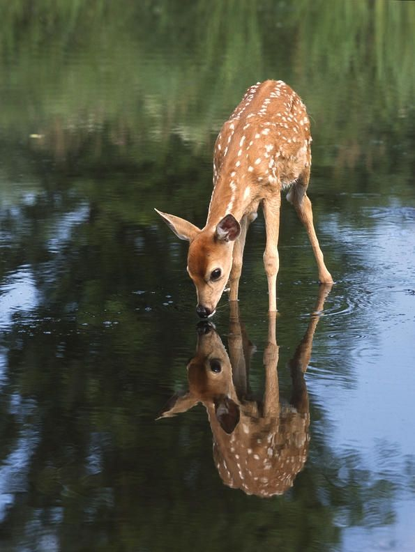 I like that the background is blurred and i also like the reflection of the deer in the water.