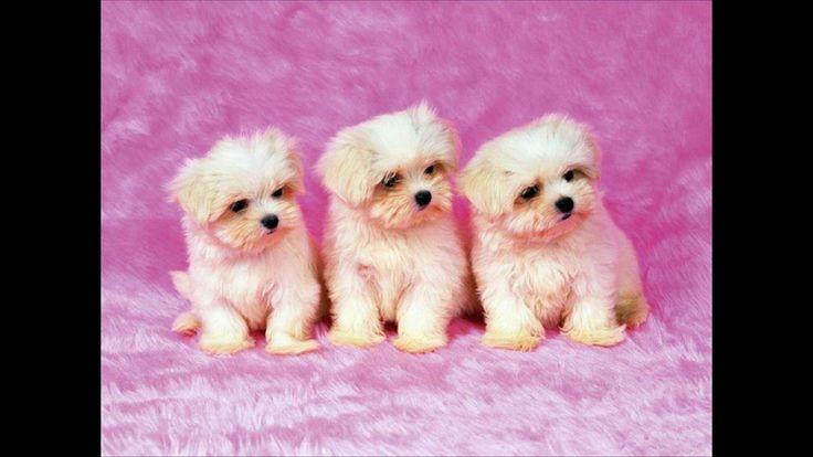 Idea By Emily Hansraj On Cute Puppies Cute Dog Wallpaper Dog