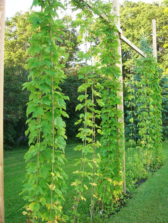 HollyCornblogs-Hop-Trellis