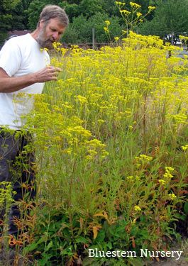 Patrinia scabiosifolia - Golden Lace