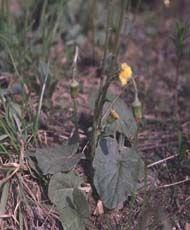 Мать-и-мачеха обыкновенная Внешний вид: Цветочные корзинки одиночные, желтые. Краевые цветки в корзинках — язычковые, пестичные; внутренние-трубчатые, обоеполые. Цветет в мае. После цветения появляется розетка прикорневых округло-сердцевидных листьев, сверх