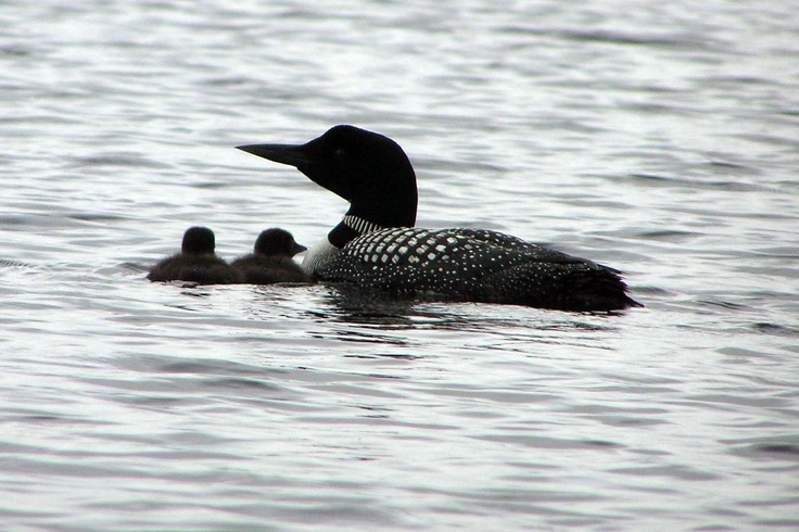 loons in algonquin by susan shipman