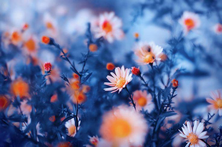 Orange Flower On Blue Photograph by Oksana Ariskina #OksanaAriskina #OksanaAriskinaFineArtPhotography #Flowers #ArtForHome #Blue #Orange #Bokeh #Nature #FineArtPrints #InteriorDesign #PrintsForSale #Garden