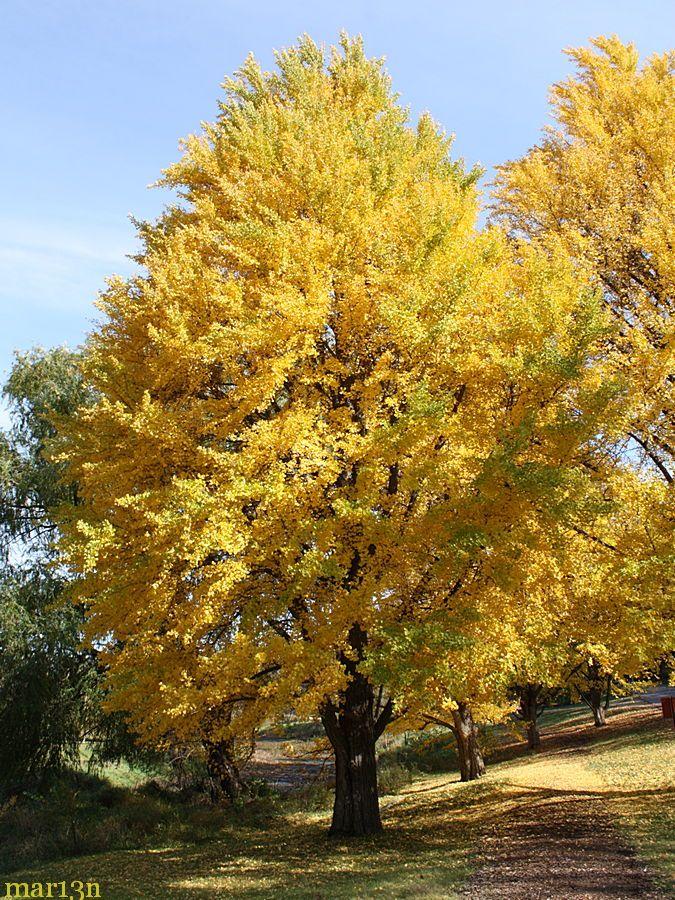 Ginkgo Tree Ginkgo Biloba Maidenhair Tree Ginko Tree
