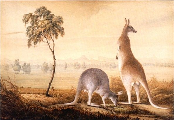 Australian colonial art history settler and visitor artists | John Lewin | Kangaroos | The variegated lizard of New South Wales