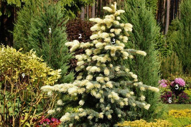 Decorative Blue Spruce : Можжевельник скальный skyrocket Дерен белый aurea