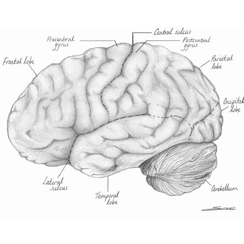 An illustration of the brain I did in order to cement the names of the lobes and other external features into my own grey matter for my human biology units at university.