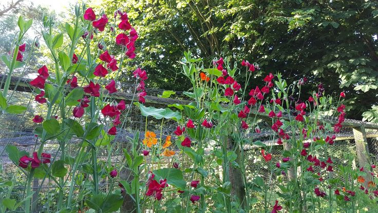 Ahhhh, my favourite magenta sweet peas. Divine scent, magical energy of joy, divine colour, divine everything about this flower! It grows to over 6ft easily and lasts all summer, with long stemmed flowers. Divine!!!
