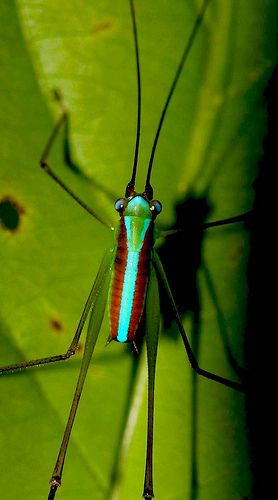 17 best ideas about cricket insect on pinterest bug for Arts and crafts cricket
