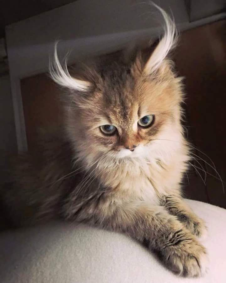 I want this cat with the fluffiest of fluffy ears!