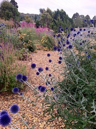 echinops path in an Aussie garden....