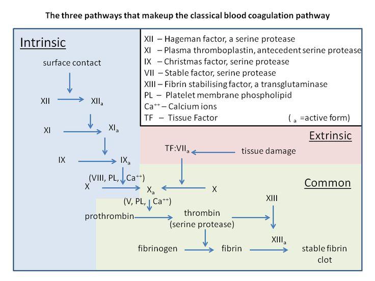 Intrinsic, extrinsic, & common blood coagulation pathways.