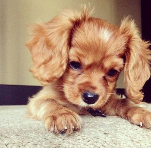 one of the many dogs i want/will have...