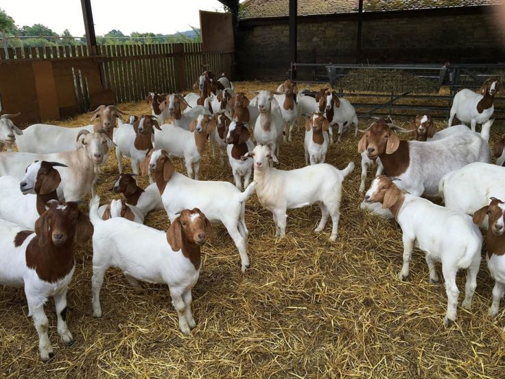 飲食新潮流係山羊肉 絕對道德因為唔食就要劏要就要棄置? Goat meat, Boer goats, Food