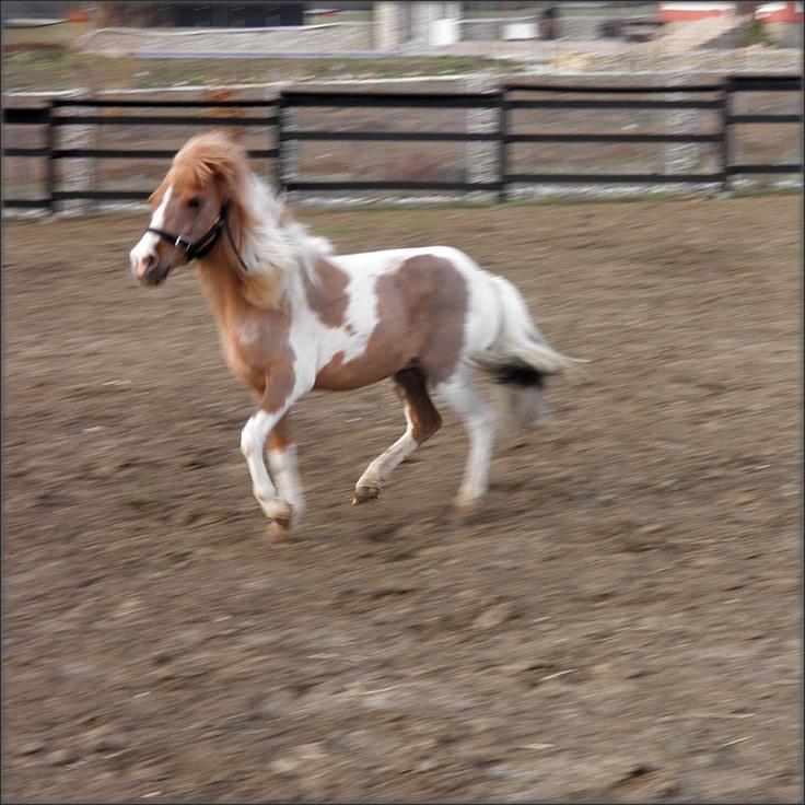 Piwi Mini-horse, 11 ani, patat  Piwi este un calut in miniatura, cam cat un catel de talie mare, el este mascota centrului, mic si simpatic, bland si cuminte dar si jucaus si pus pe sotii. Adora rasfatul, compania copiilor, morcovii si pupicii.  Activitati – Interactiune/socializare om-cal, hipoterapie la sol.