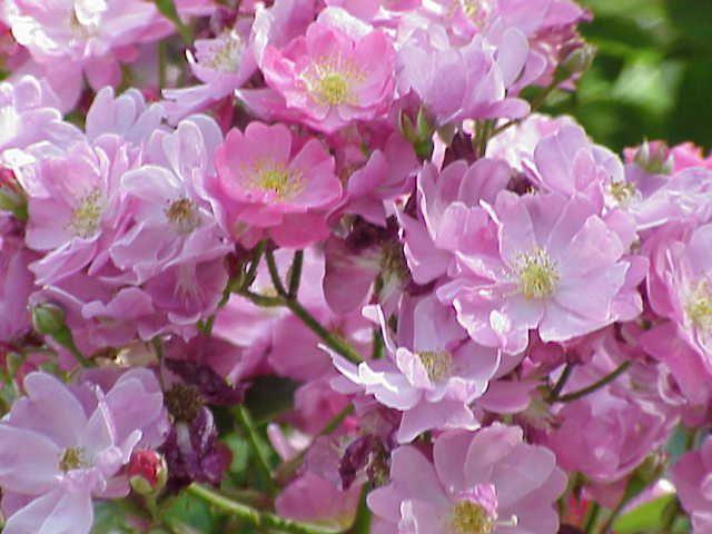 Rosa  'Yesterday'® très remontant, haut de 60 à 100 cm