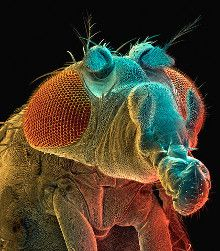 Drosophila Melanogaster - The fruit fly