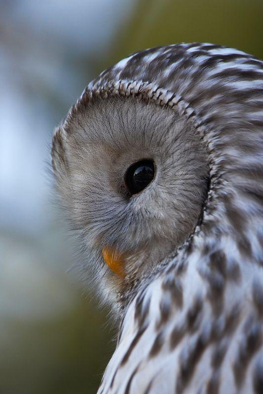 so beautiful owl photos by Sven Začek in National Geographic Magazine!