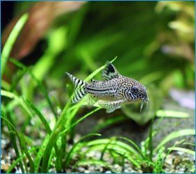 The benefits of live aquarium plants over artificial in an aquarium are numerous. They are closer to the animals' natural environments, are less likely to harm the fish, can lower nutrients in the aquarium over time, provide grazing and breeding grounds, and are visually more dynamic than plastic plants or silk plants.