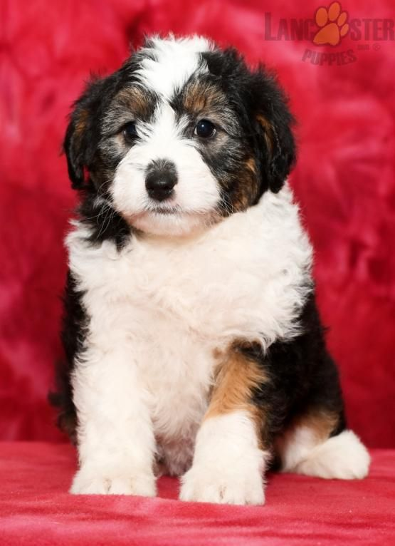 Daisy Mini Aussiedoodle Puppy For Sale In Dundee Oh Lancaster