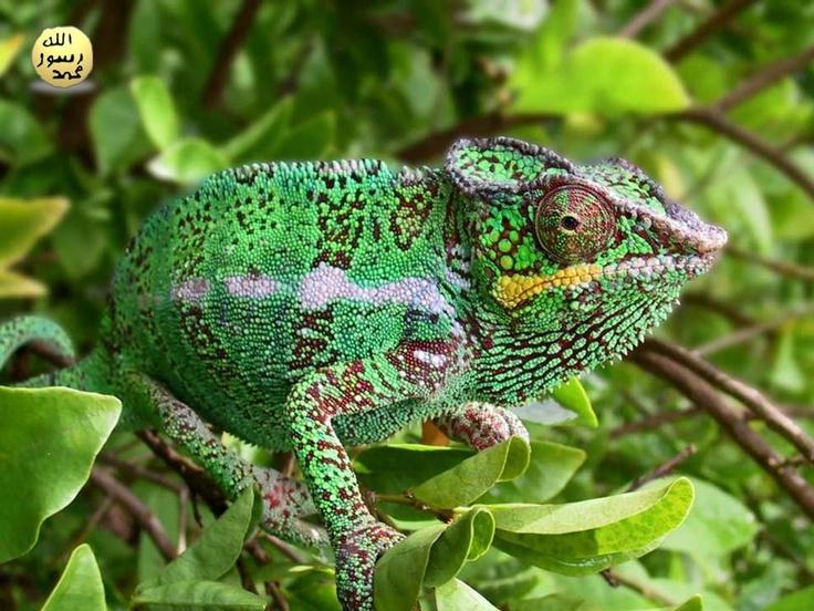 Derilerinin rengini sarı, yeşilin çeşitli tonları, kiremit kırmızısı, kestane rengi ve siyaha çevirebilirler hatta bunlar üzerinde görünmemesini sağlayacak benekler veya çizgiler oluşturabilirler.