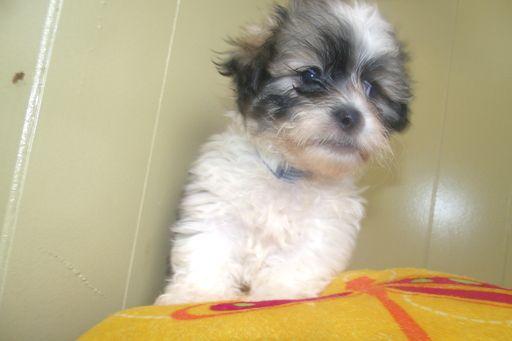 Zuchon puppy for sale in PATERSON, NJ. ADN-49213 on PuppyFinder.com Gender: Male. Age: 9 Weeks Old